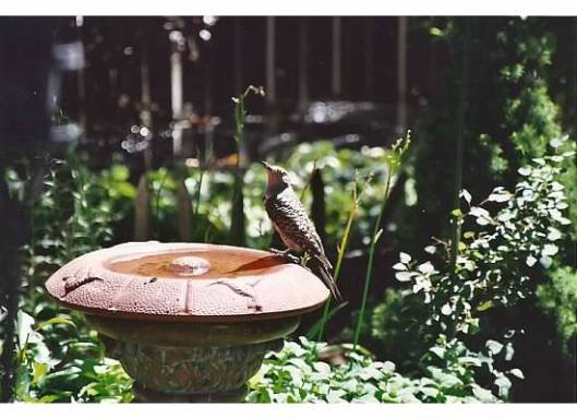 woodpecker on birdbath