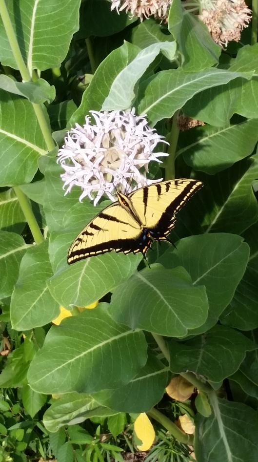 Swallowtail On Milkweed