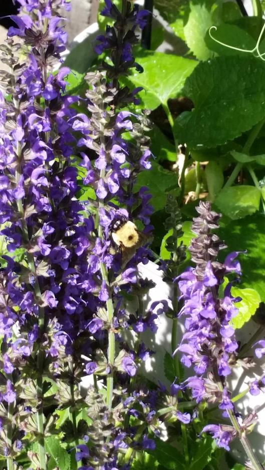 Blue Salvia With A Big Bumble Bee