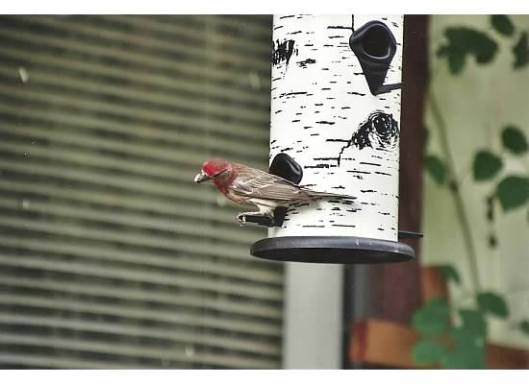 Purple House Finch