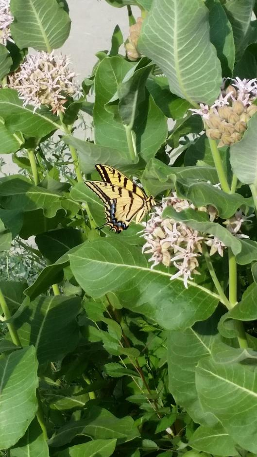 Another Swallowtail On Milkweed